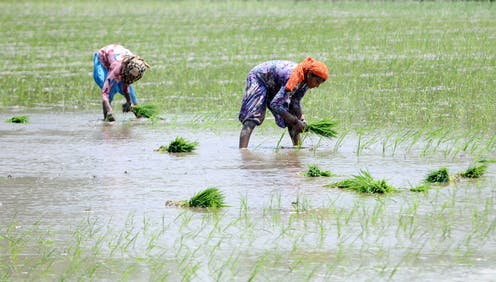 Two women wearing bright clothes in a wet paddy plant small green plants