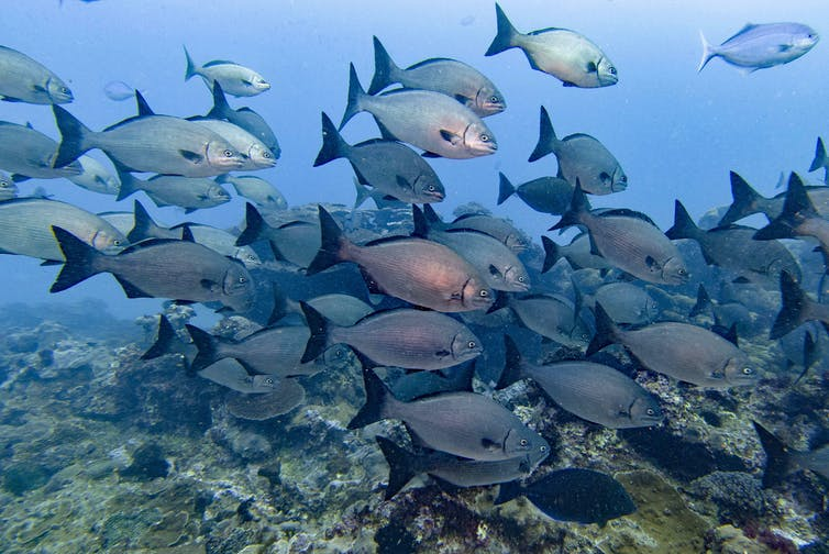 A school of large blu fish