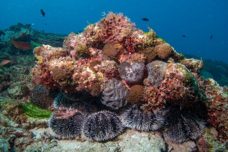 Fat, black and white urchins beneath a coral mound
