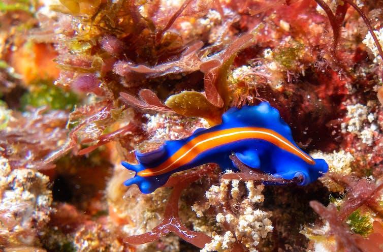 A vibrant blue ribbon-like worm with an orange stripe