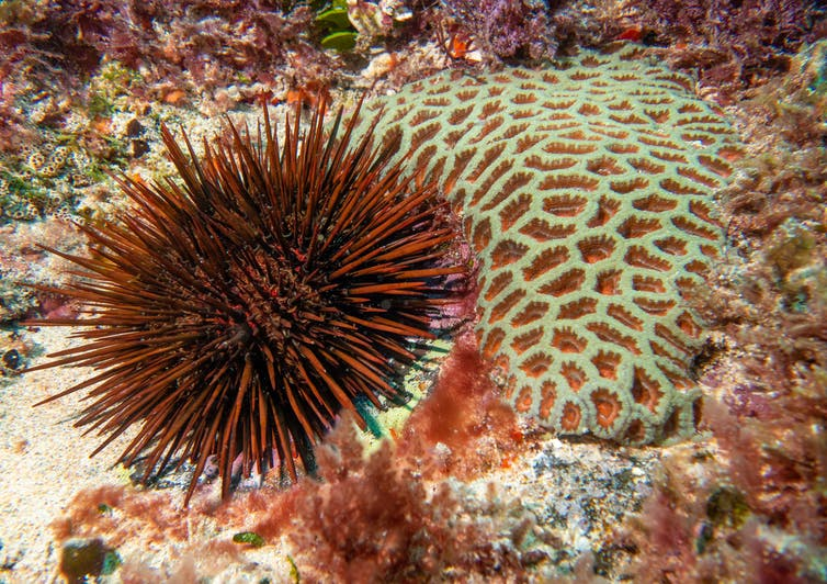 Red urchin beside coral