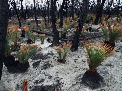 Shoots of grass trees in a burnt-out forest
