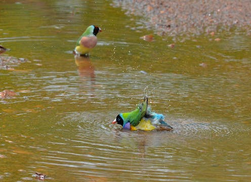 Gouldian finches splash in a puddle