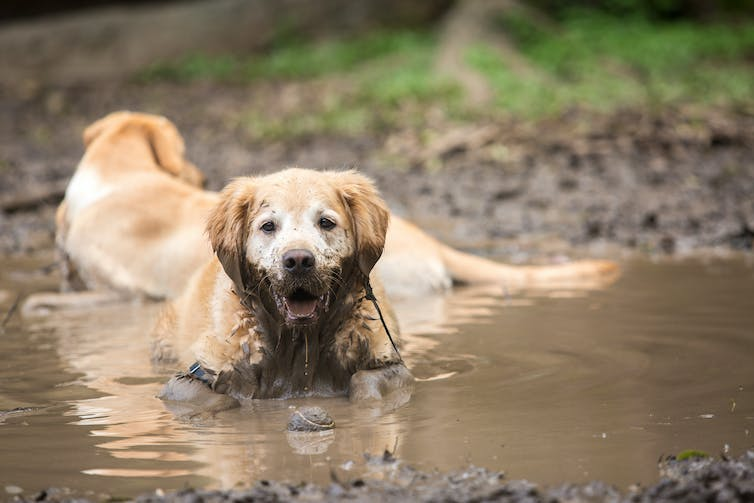 A muddy golden retriever playing in a puddle