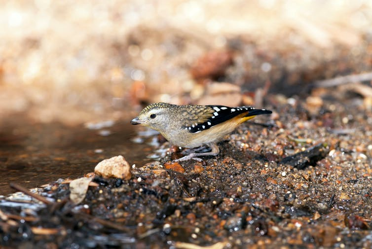 A spotted pardalote near a puddle