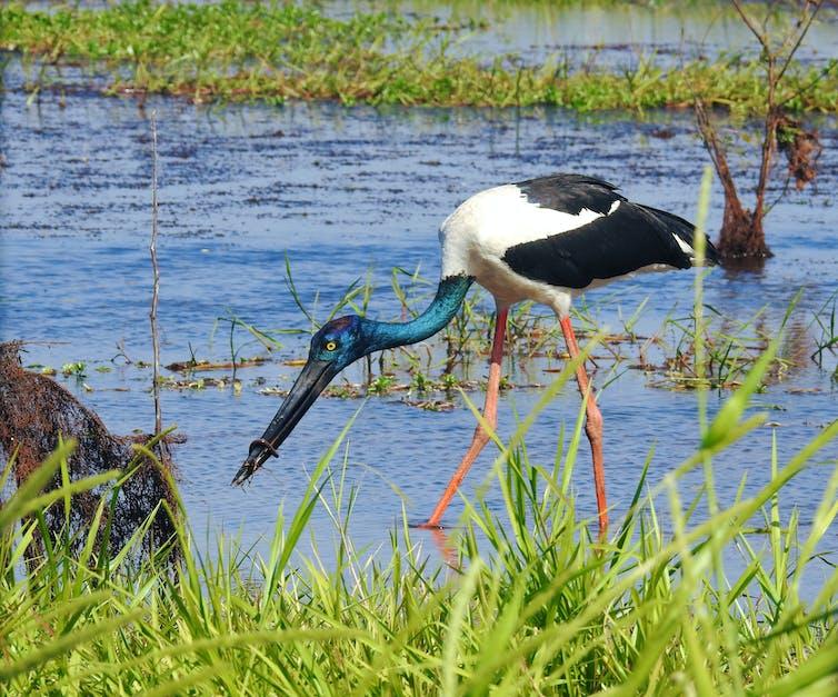 A bird in a wetlands.