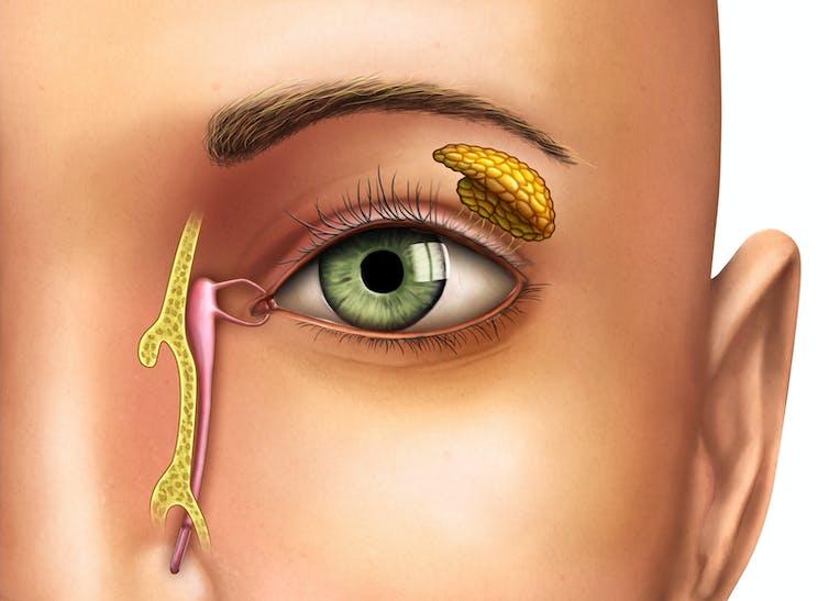 The anatomy of a tear duct and tear gland