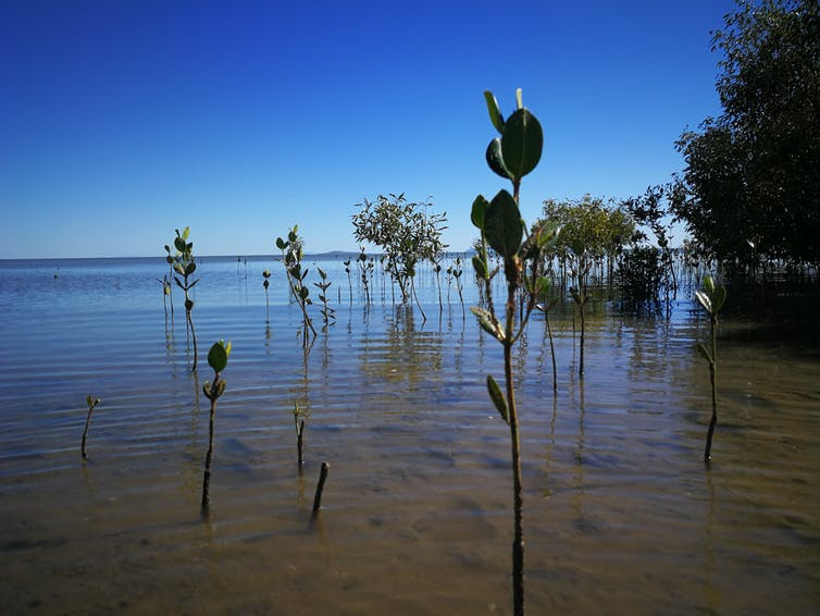 Mangroves at different growth stages in Bushland Beach, QLD