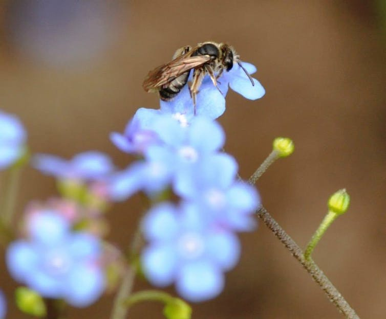 A bee on a forget-me-not flower.
