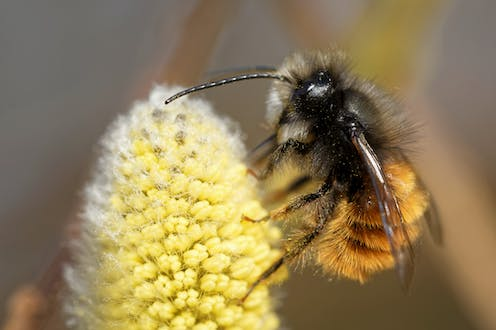A wild bee species on a yellow flower.