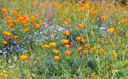 Orange California poppies and other wildflowers.