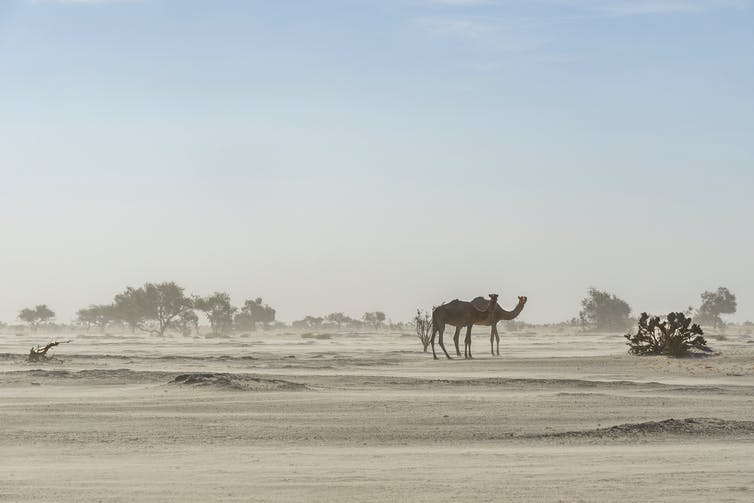 Camel walks through dusty desert