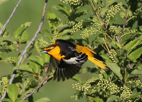 an orange and black bird lands on a branch