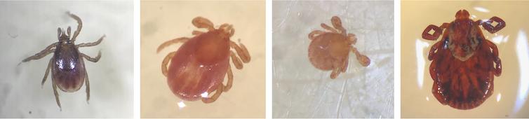 Adult female blacklegged tick, adult female bird tick, rabbit tick larva, and adult female dog tick taken under a dissecting microscope.