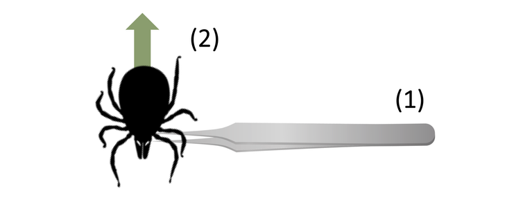 Infographic of how to remove a tick with the tweezers located near the head of the tick. There is an arrow pointed straight upwards from the back of the tick.