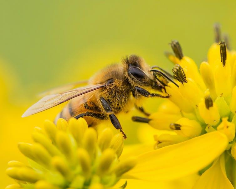 Abeja recolectando polen.