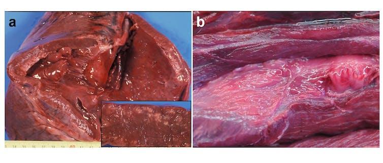 Miopatía por estrés/esforzo en oso pardo. (a) e (b) corresponden a lesións macroscópicas en músculo cardíaco e esquelético, respectivamente. Obsérvanse principalmente áreas pálidas e aclaradas, que microscópicamente son debidas a dexeneración hialina. Imaxes achegadas polos autores.