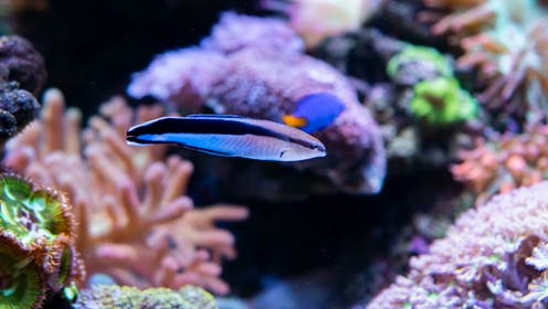 A bluestreak cleaner wrasse in an aquarium.