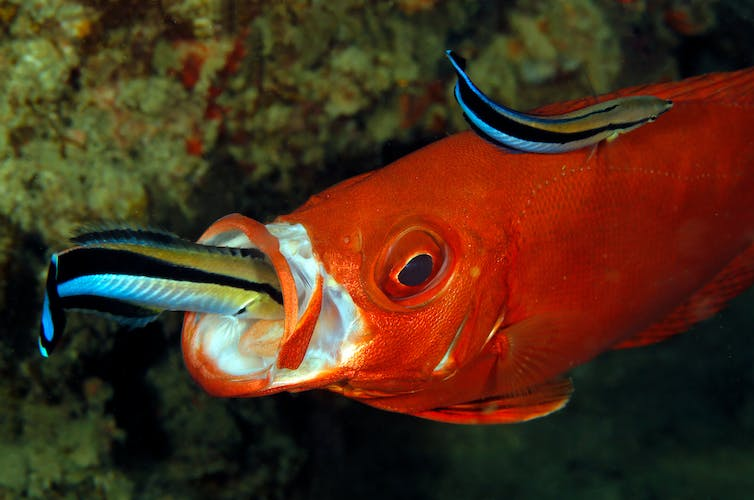 two small cleaner wrasses on a bigger orange lunar-tailed bigeye, including one in the mouth