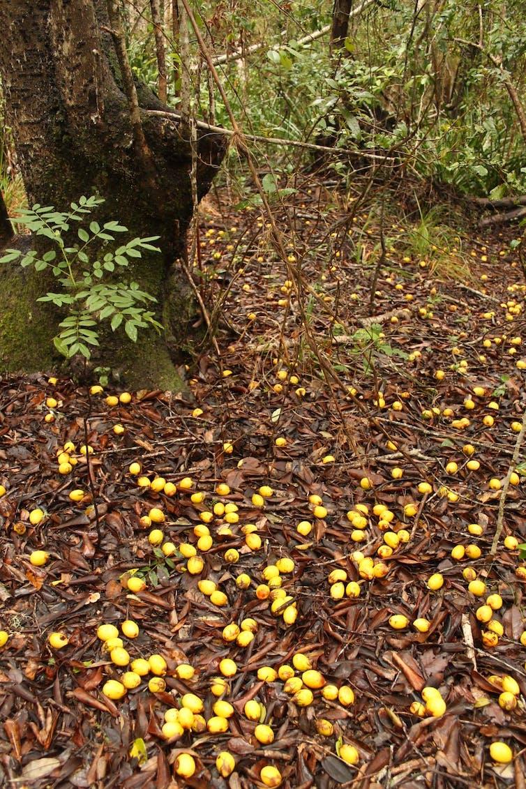 Los frutos de queule (_Gomortega keule_) caen al suelo cuando maduran en otoño, en ausencia de animales nativos que los consuman y transporten la semilla.