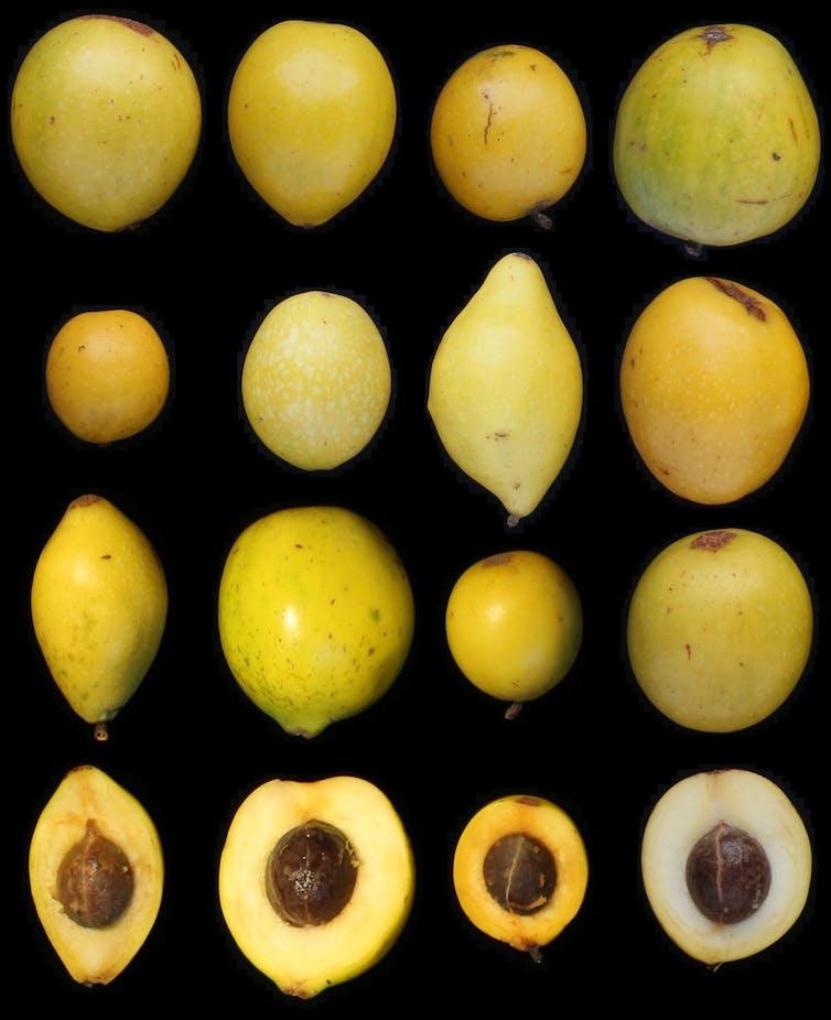 El gran tamaño del fruto de queule (3,5 a 5 centímetros de largo) y su abundante pulpa comestible, lo hacen atractivo para el ganado.