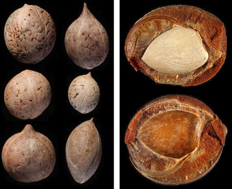 El fruto megafáunico de queule tiene una semilla grande y muy bien protegida por un durísimo endocarpio leñoso.