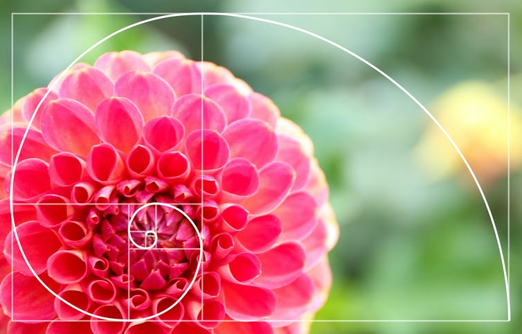 Dahlia flower with golden ratio spiral overlayed.