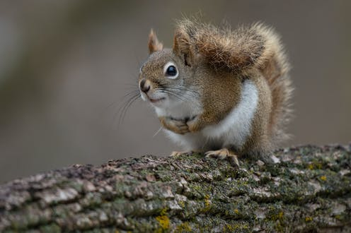 A red squirrel with its tail held high on a branch