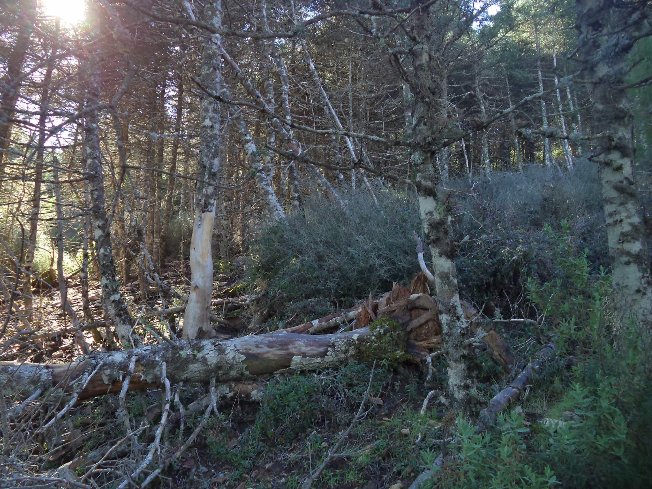La mortalidad de pinsapos en bosques demasiado poblados lleva a la proliferación de un sotobosque de matorral denso que incrementa el riesgo de incendio.Álvaro Cortés Molino,Author provided