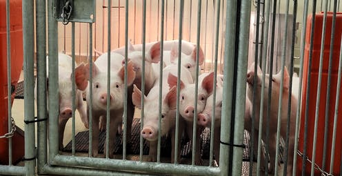 Nice pigs poke thier noses out of a large cage.