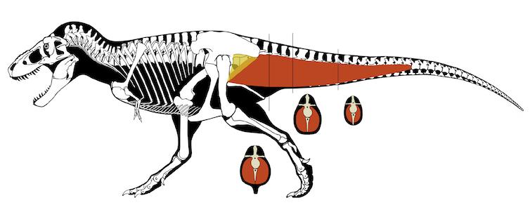 Una imagen de un Tyrannosaurus rex que muestra los grandes músculos de la cola que se conectan con la parte superior de la pierna y la cadera.