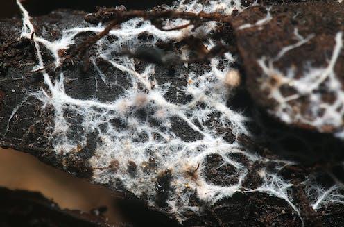 Mycelium on wood