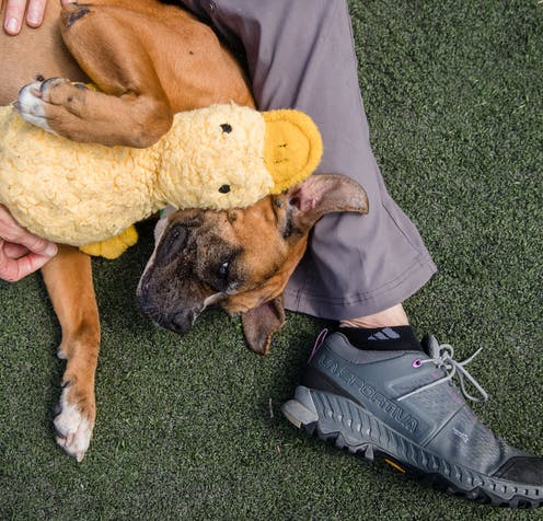 A rescue dog plays with a toy platypus.