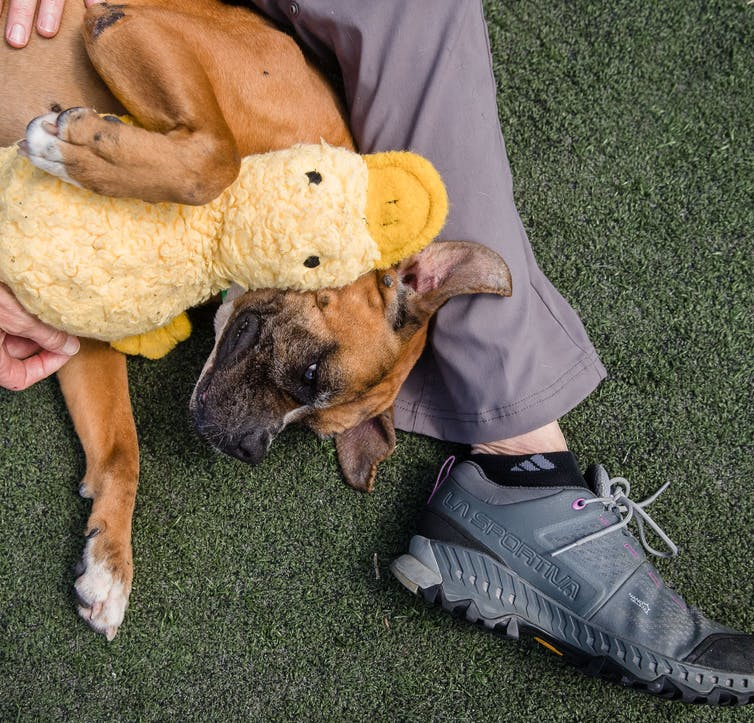 Dog lies on legs of volunteer and holds a stuffed duck toy