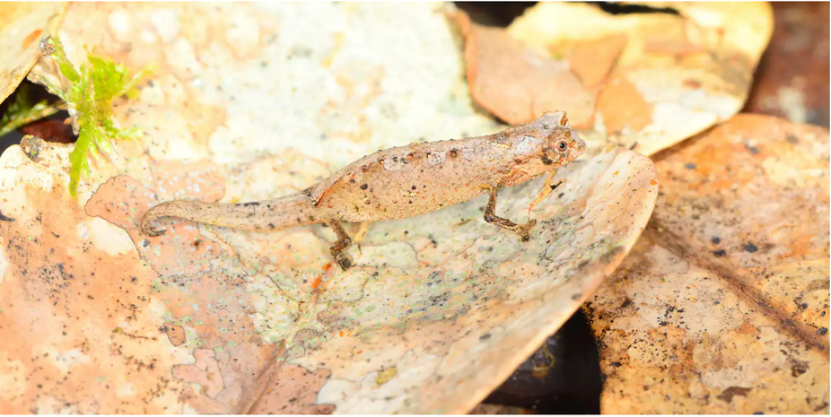 Brookesia tedi, described in 2019, is one of the smallest chameleons