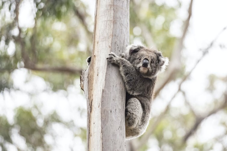 A koala clings to a tree