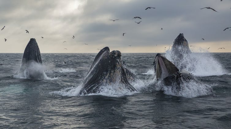 A pod of humpback whales lunge feeding.