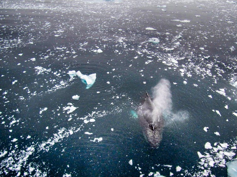 Aerial view of humpback under icy water .