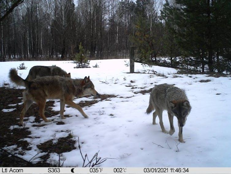 Grupo de lobos no interior da zona de exclusión de Chernóbil, Ucraína. 2021. Imaxe: CHAR Project / Nick Beresford, Sergey Gashchack.