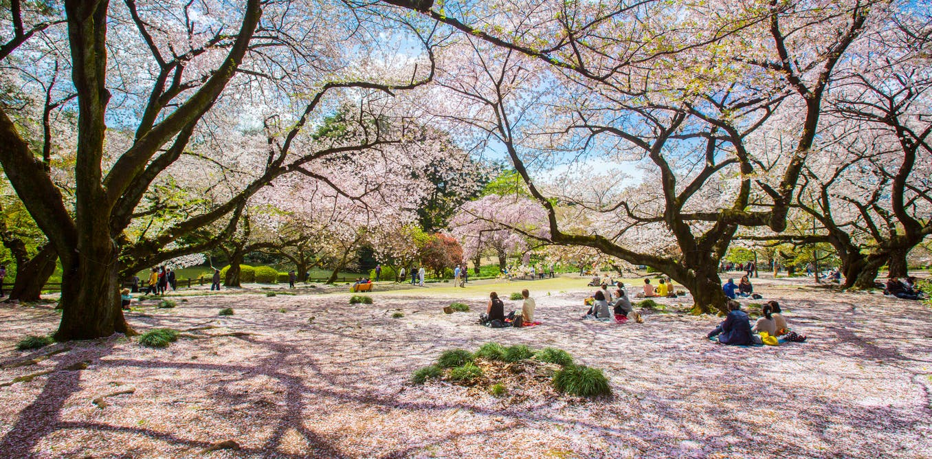 Japan's cherry blossom viewing parties – the history of chasing the fleeting beauty of sakura
