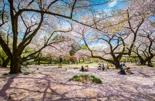 People sitting under cherry blossoms tree