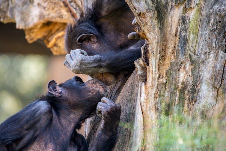 Chimpanzees kiss in a tree