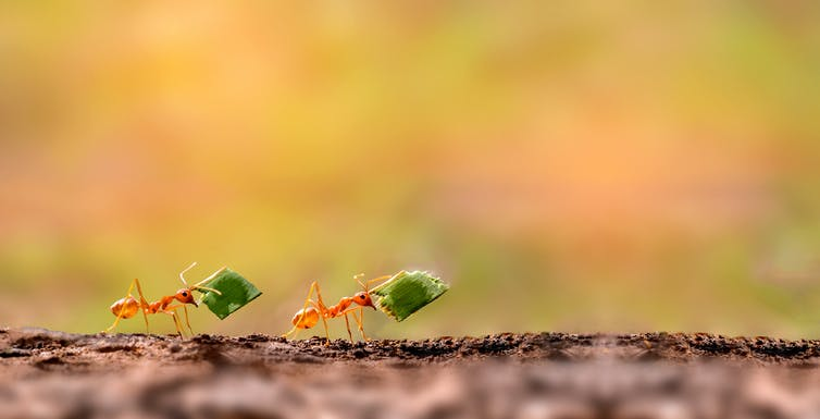 Image of two ants - prostomes.