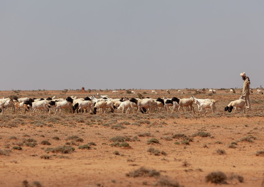 A man herding goats on dry lands