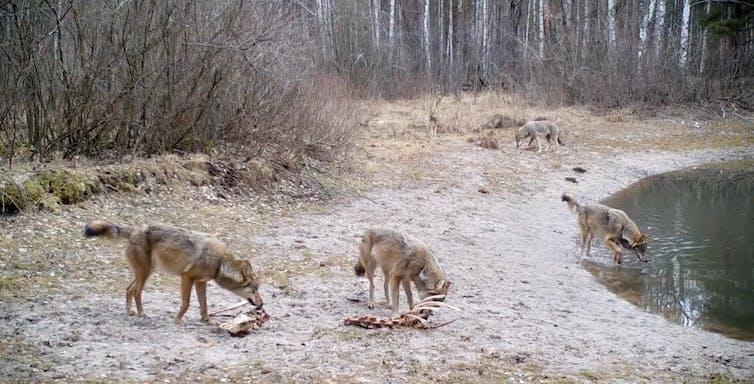 Grupo de lobos alimentándose dos restos dun alce na zona de exclusión de Chernóbil, Ucraína. 2020. Imaxe: CHAR Project / Nick Beresford, Sergey Gashchack.