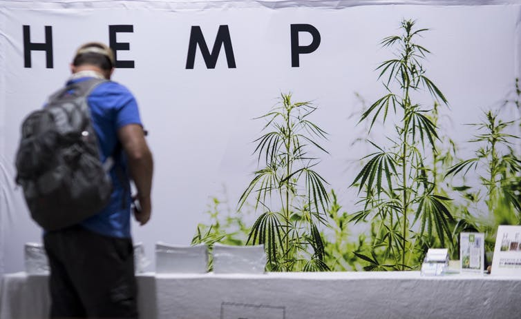 Man wearing backpack looks at a row of hemp plants