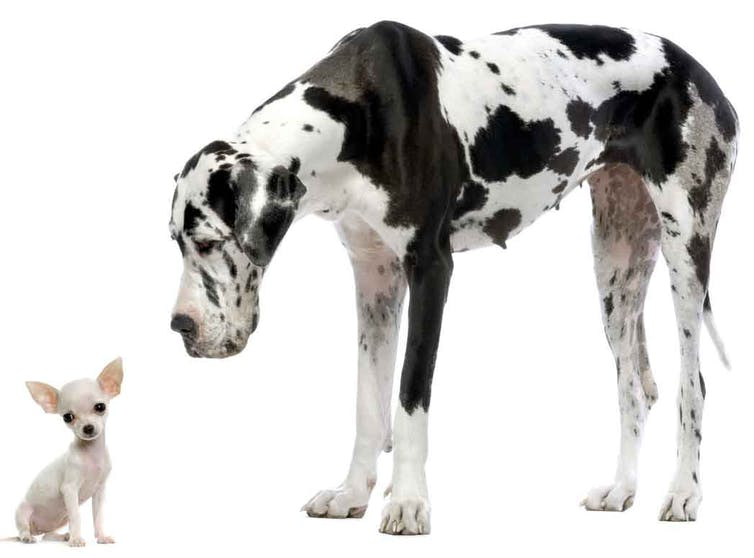 Tiny chihuahua sits next to a giant great dane