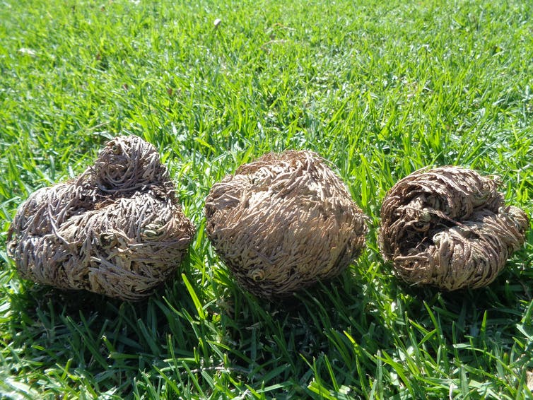 Three brown, dried plant balls on grass.