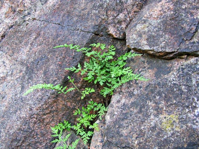 Rock fern growing in a rock crevice