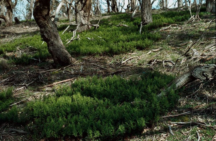 Rock fern colonies growing beneath eucalypts